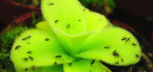 Flypaper Plant