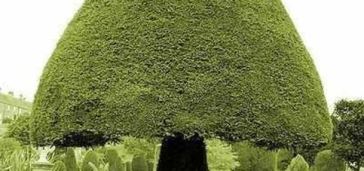 Fungi Hedge Topiary