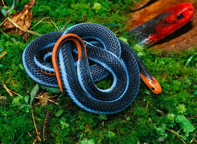 Blue Malaysian Coral Snake - Save Our Green
