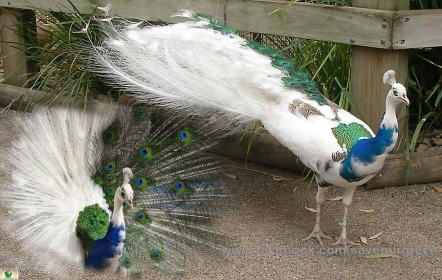 Blue-White Peacock - Save Our Green Albinism In Animals And Plants