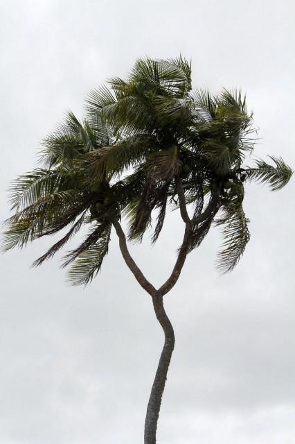 Monster Coconut Tree