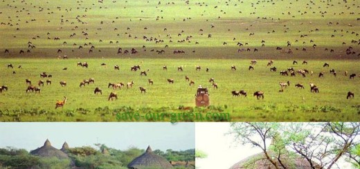 Grass field and beautiful tent of Serengeti National Park
