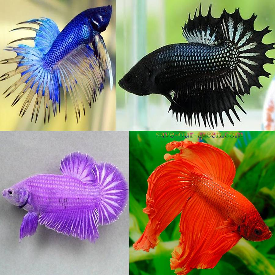 Beautiful Betta fish - Save Our Green