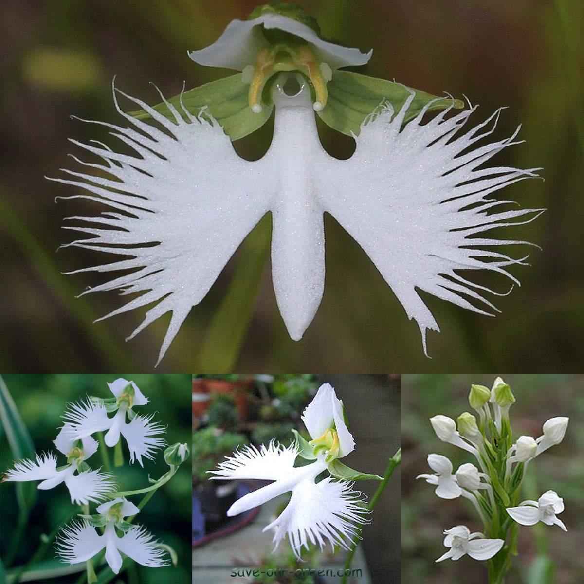 White egret flower save our green white egret flower mightylinksfo