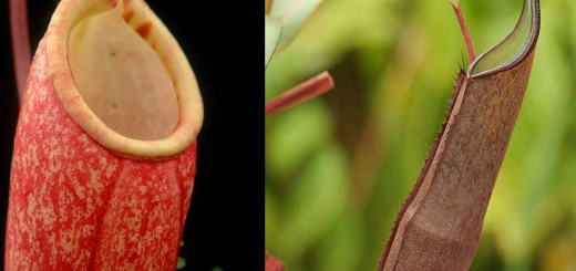 Some Nepenthes