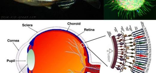 Zebrafish Stem Cells Could Repair Human Blindness