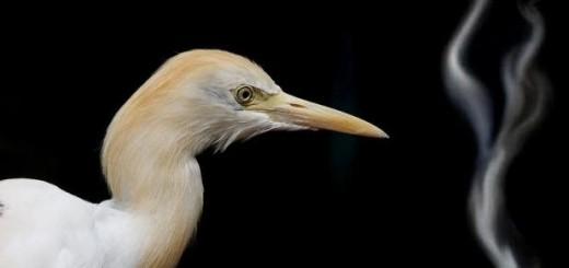 Cigarette in Bird's Beak