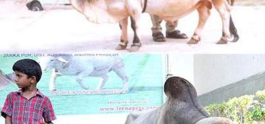 Punganur Dwarf Cow