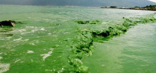 Blue-Green Algae Bloom in Dianchi Lake