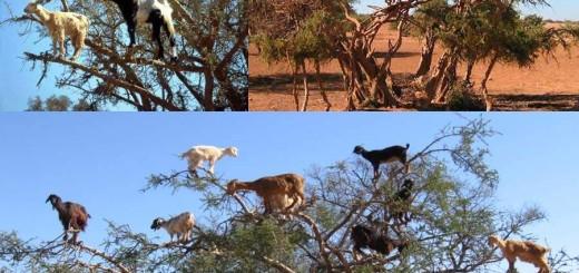 Climbing goat of Morocco