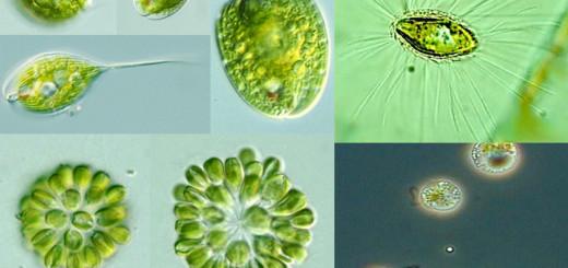 Golden Brown Algae