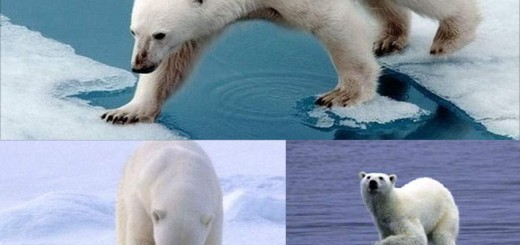 Now its the turn of polar bears to face extinction