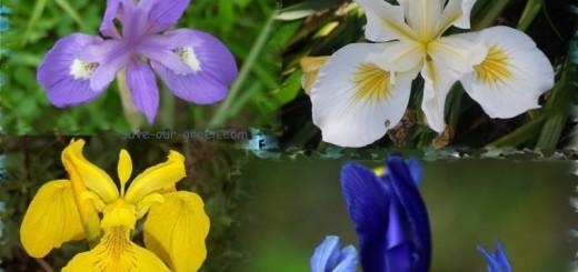 Various Iris