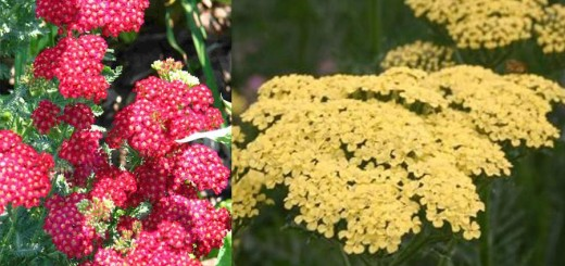 Yarrow- the Little Feather that Heals