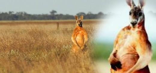 Male Kangaroos flex their biceps to woo mates