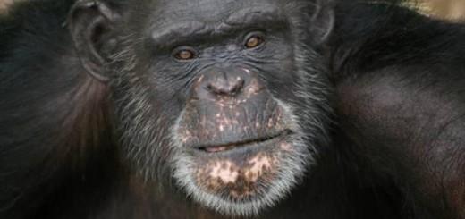 37 yr. old Chimpanzee, Brent