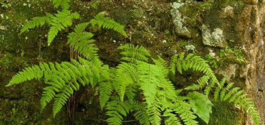 Bulbet fern