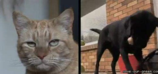 A Dog donated blood to a dying Cat