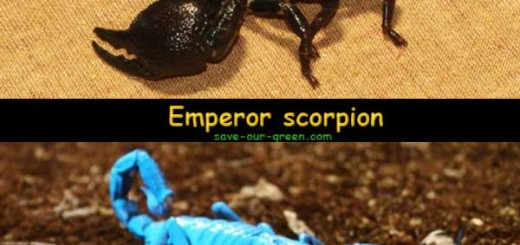 Two different color of Emperor scorpion
