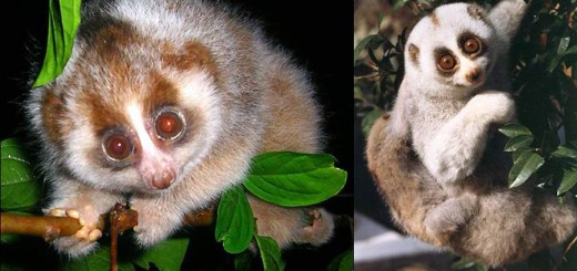 Bengal slow loris or northern slow loris