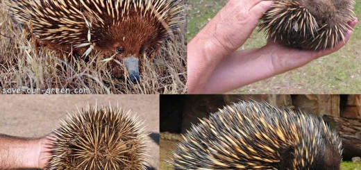 the spiny anteater