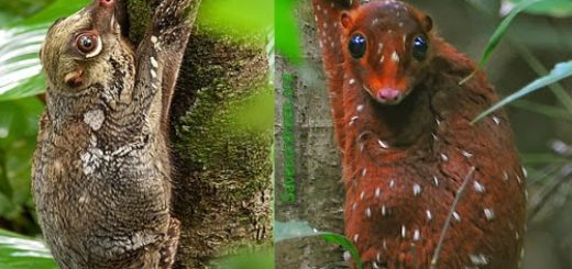 The Sunda flying lemur