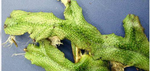 Snakeskin Liverwort