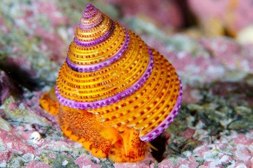 Jeweled Topsnail