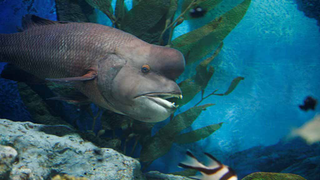 Asian Sheepshead Wrasse