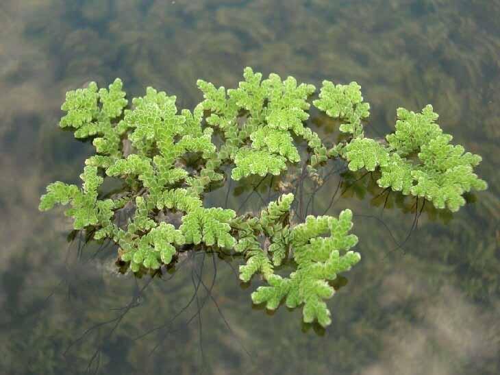 Freshwater fern