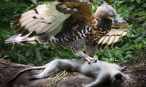 Monkey eating eagle