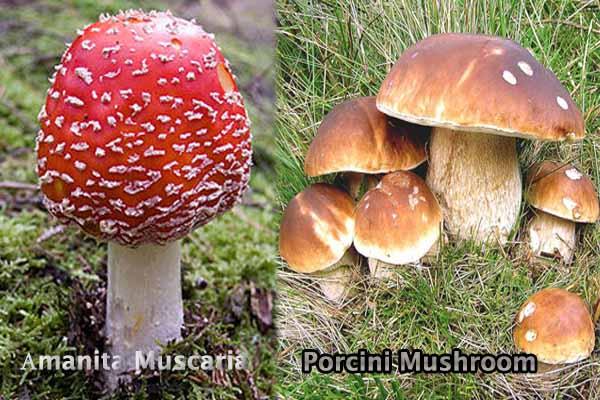 Аmanita Muscaria and Porcini Mushroom