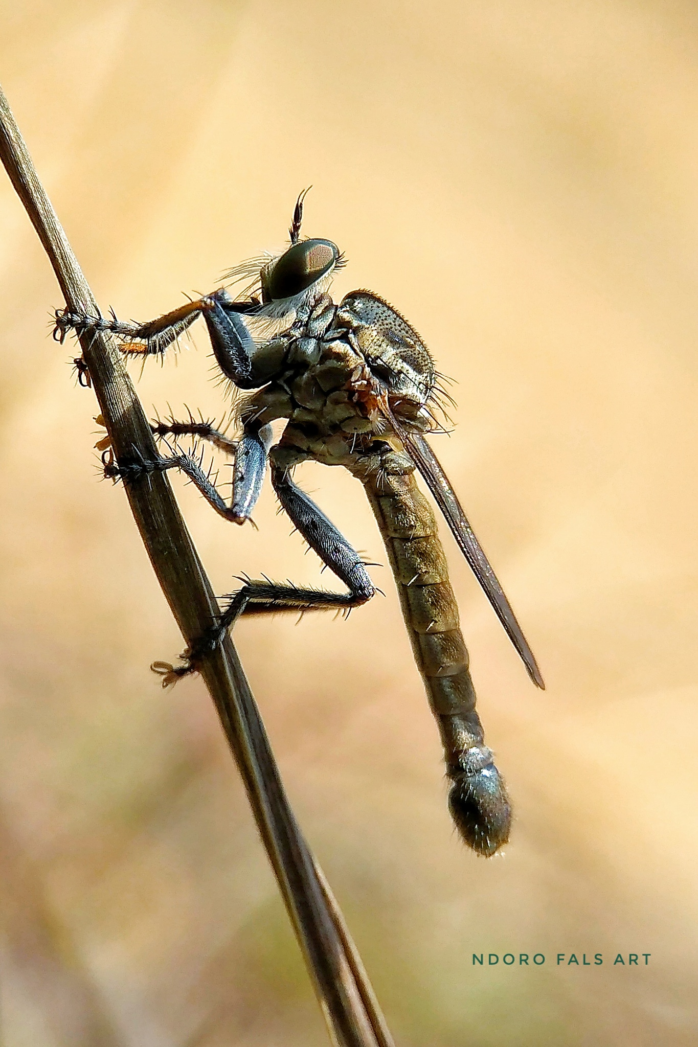 ROBBER FLY ON GARDEN Redmi 4a+lens Snapseed lamteng-INDONESIA 02.03.2018